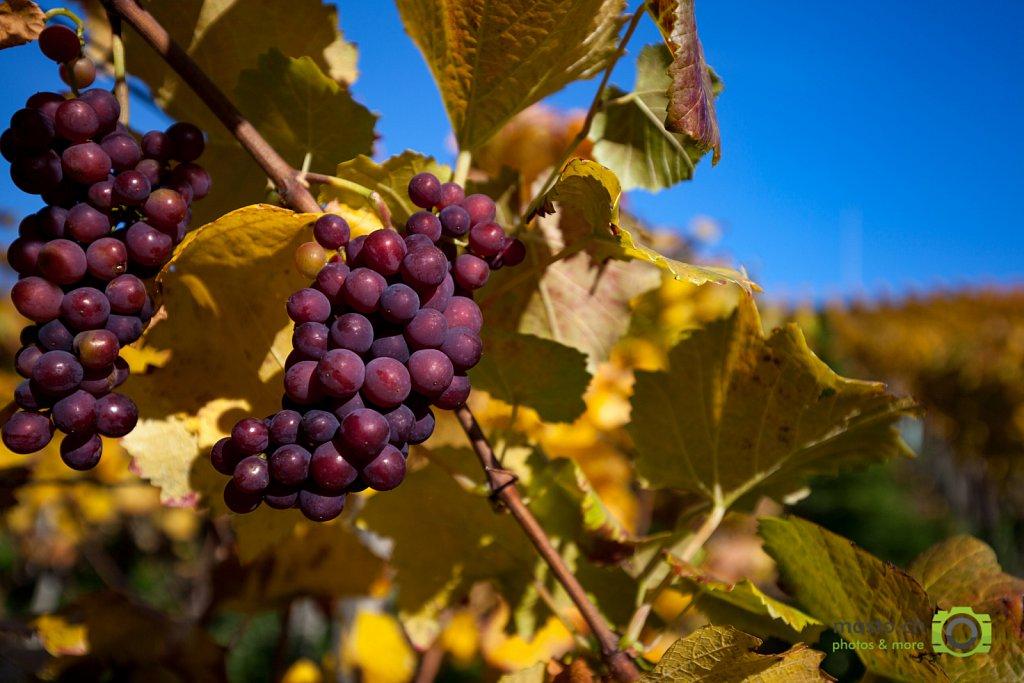 Pinot Noir de Hallwyl