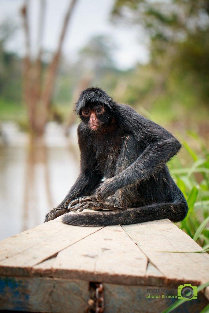 Maqui Sapa (Spider Monkey)