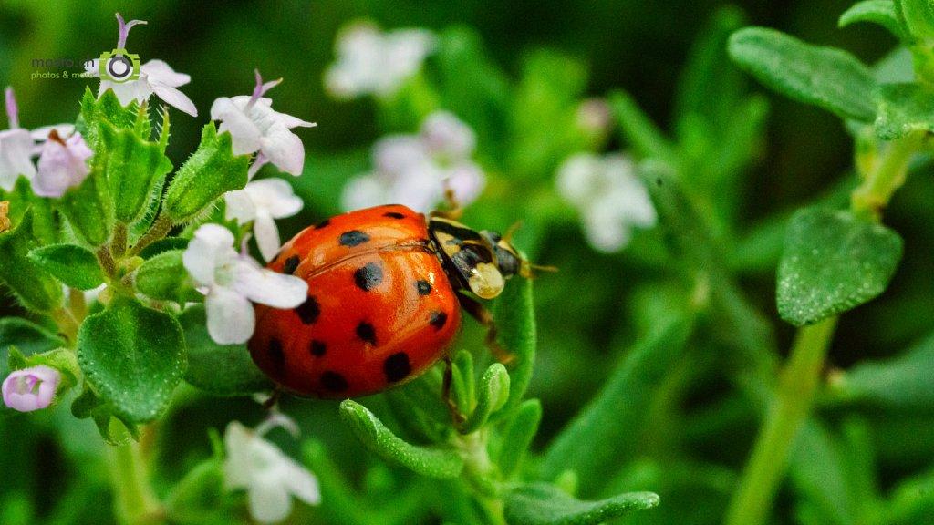 Ladybug loves Thyme